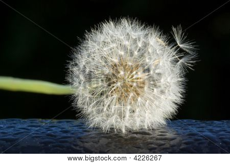 Breakaway Dandelion Seed