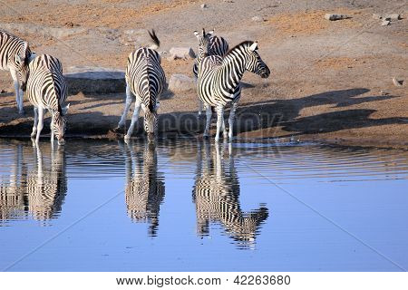 Herd Of Burchell�s Zebras Drinking Water In Etosha Wildpark
