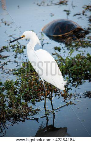 Snowy Egret Standing In Dark Water