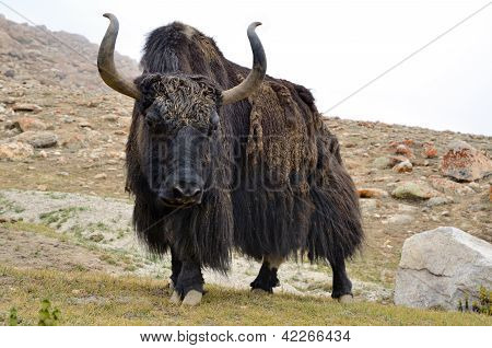 Brown Tibetan Yak