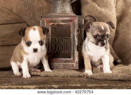 Chihuahua puppies in retro background