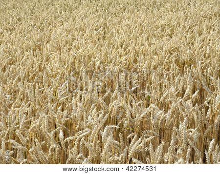 Ripe Wheat Field In Sunny Ambiance
