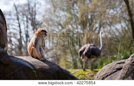 Small Monkey Sitting On Rock Watching Ostrich