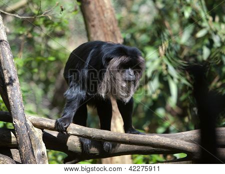 Black Monkey In A Tree
