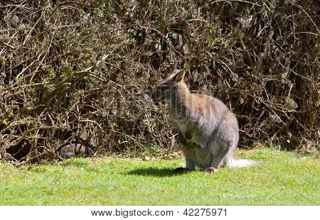 Young Kangaroo In The Grass