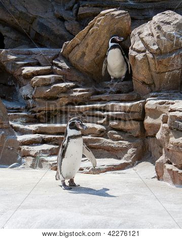 Penguins Waddling