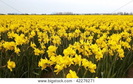Yellow Daffodil Crop