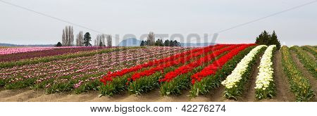 Seattle Tulip Field