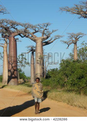 Baobab-Bäume
