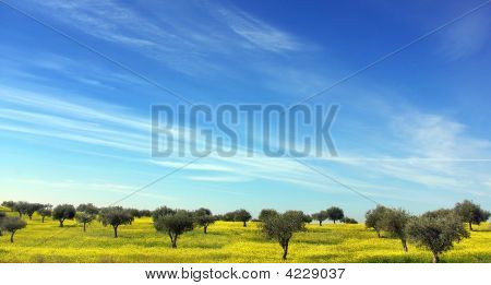 Olives Tree In A Field  Of Portugal.