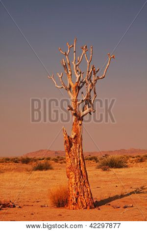 Quiver tree in Namibia, Africa