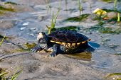 stock photo of terrapin turtle  - A curious Diamondback Terrapin on a sandy patch in a salt marsh - JPG