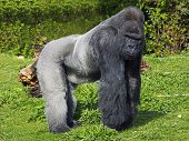 A large male silver back western lowland gorilla standing in a powerful position surveying his  terr