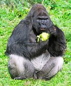 stock photo of lowlands  - large male silver back western lowland gorilla  - JPG