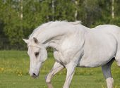 pic of shire horse  - The white horse in the summer field - JPG