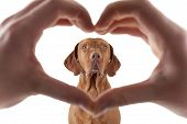 picture of vizsla  - human hand forming a heart shape frame in the foreground with a golden dog in the middle on white background - JPG