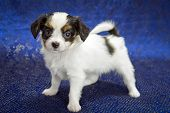 picture of epagneul  - Puppy of breed papillon on a blue background - JPG
