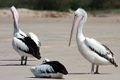 pic of bribie  - At the very tip of Bribie Island in Queensland an entire flock of Pelicans enjoy the sun surf and fish - JPG