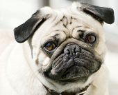stock photo of pug  - Close - JPG