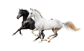 picture of cheval  - The black and white pureblood horses isolated on white - JPG