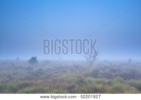 Rowan Tree And Flowering Heather On Misty Swamp