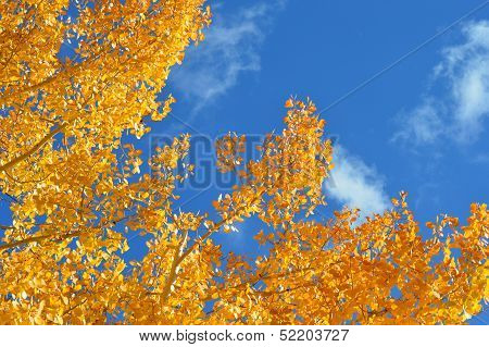Yellow Aspen leaves and blue sky