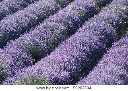 Provance Lavender Fields