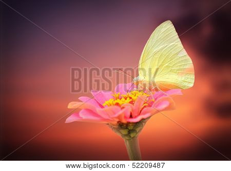 Amazing White Butterfly On Pink Zinnia Flower With Sky Background