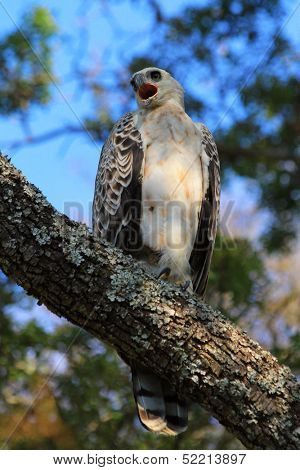 Crowned Eagle (juvenile)