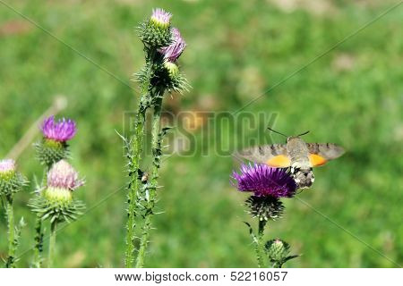 Sphingidae. Hummingbird moth. Calibri moth. Bee Hawk-moth landing.