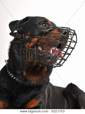 Rottweiler With Muzzle