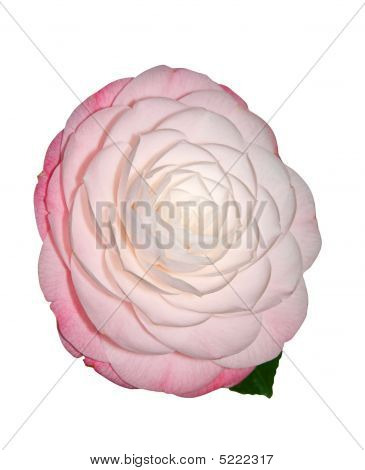 Pale Pink Camelia