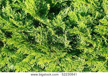 Thuja In Close Up Background