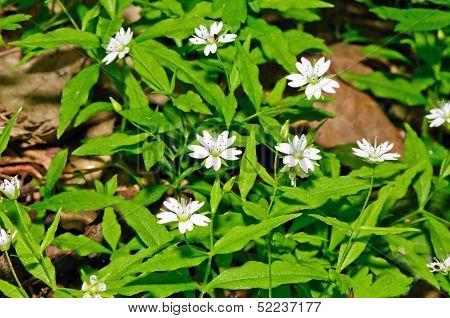 European False Stitchwort (pseudostellaria Europaea)