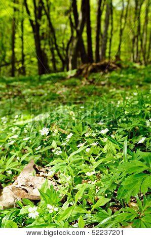 Oak-hornbeam Forest Floor