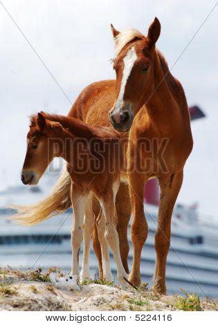 Caribbean Horses