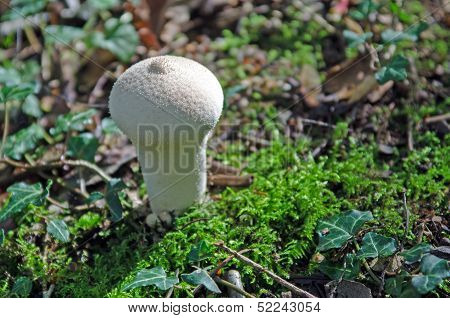 Spiney puffball mushroom