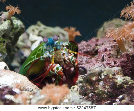 colorful mantis shrimp