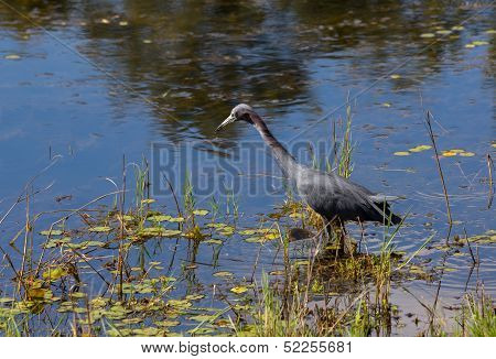 Little Blue Heron Gone Fishing