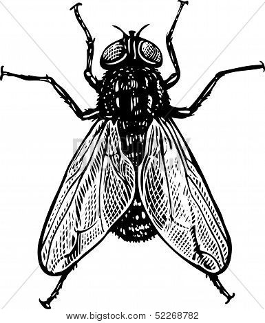 Fly in vintage engraved style