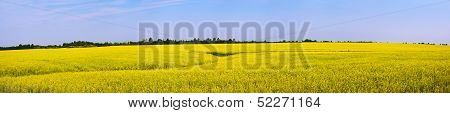 Rapeseed Field. Panoramic View