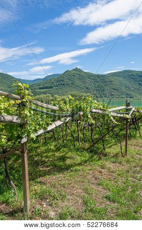 traditional Wine Growing,South Tyrol,Italy