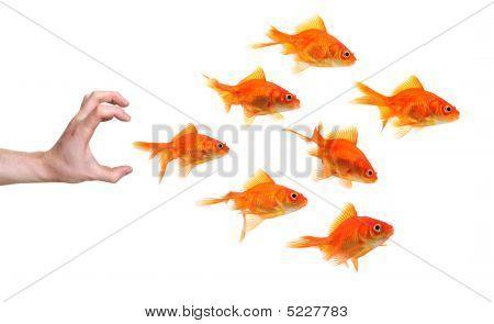Mano tratando de atrapar a un grupo de peces de colores