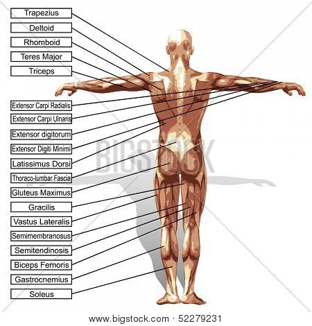A 3D male or human anatomy, a man with muscles and text isolated on white background
