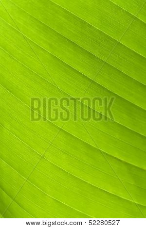 Green Leaf On A Gleam