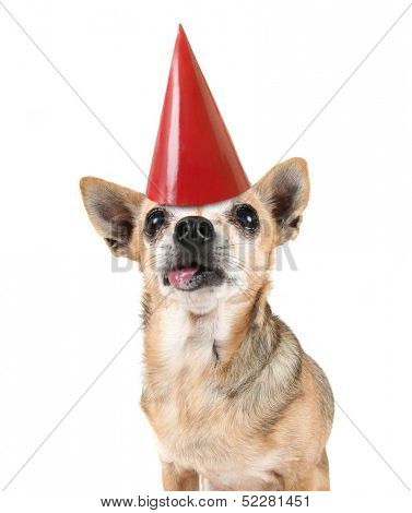 a cute chihuahua with a red party hat on