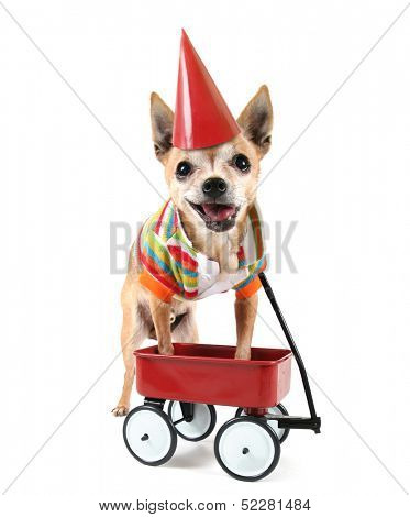 a chihuahua with a tiny wagon and a party hat on