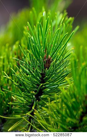 Details of pine boughs and needles from forest