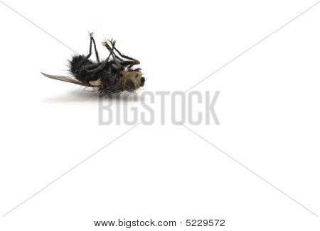 Dead Fly On White