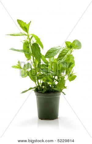 Mint Plant In Pot